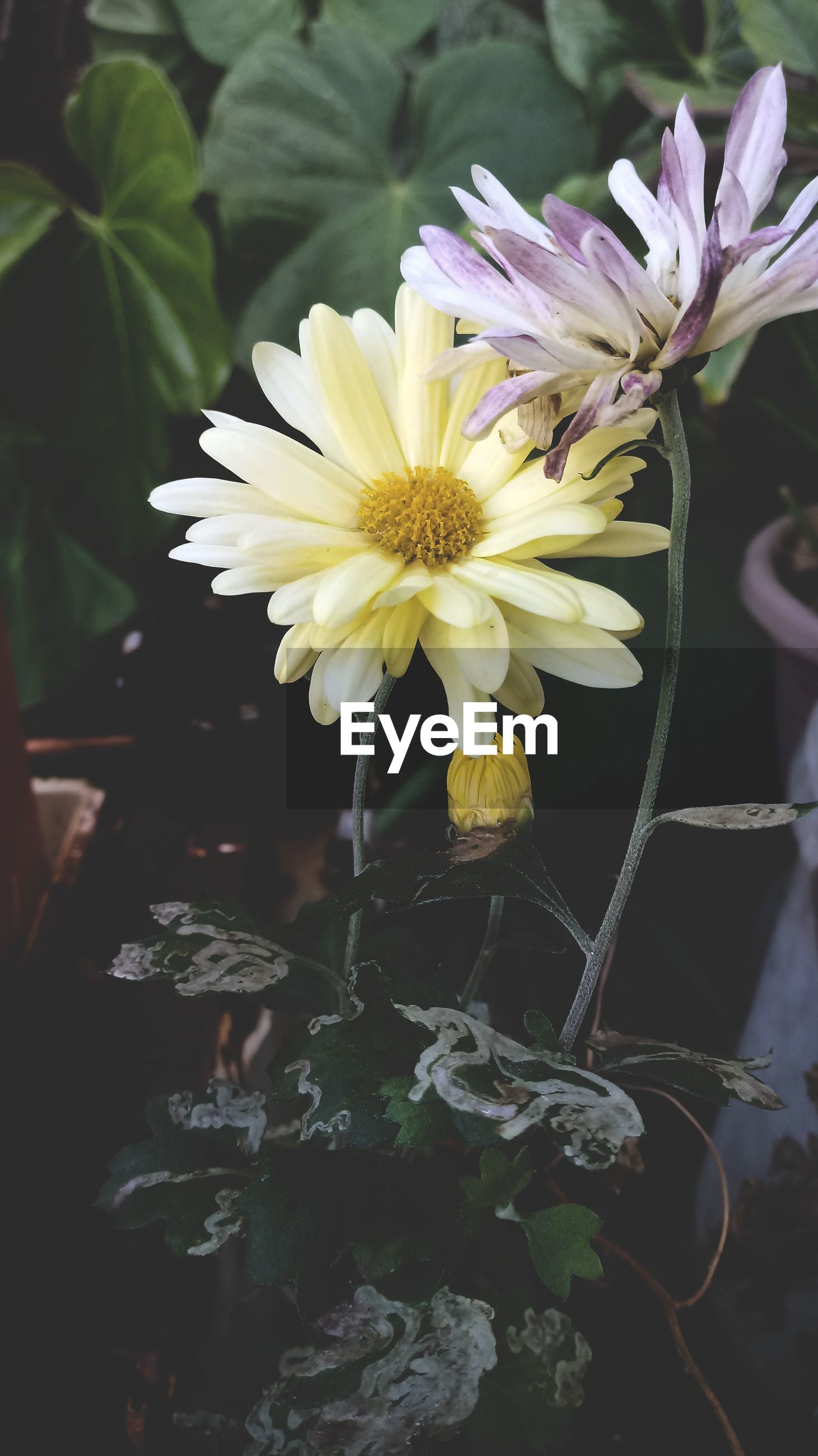 flowering plant, flower, plant, fragility, vulnerability, freshness, beauty in nature, petal, close-up, flower head, growth, nature, inflorescence, no people, yellow, focus on foreground, plant part, leaf, white color, day, flower arrangement