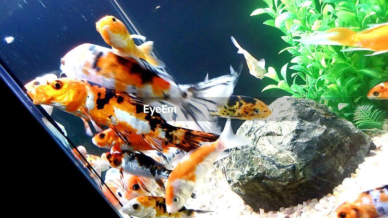 water, swimming, animal themes, fish, sea life, animals in the wild, underwater, animals in captivity, animal wildlife, nature, aquarium, no people, goldfish, motion, close-up, one animal, indoors, day