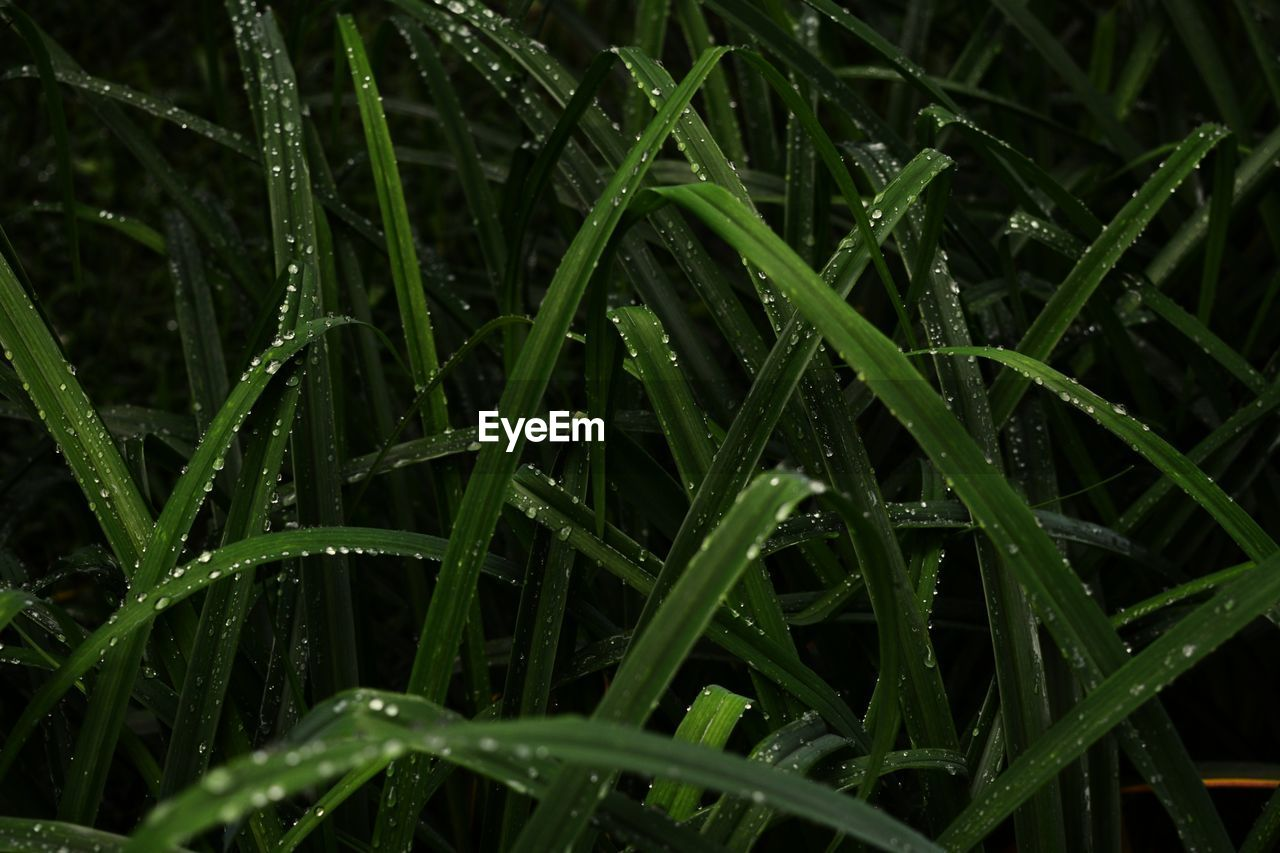 green color, growth, plant, drop, wet, water, blade of grass, grass, dew, beauty in nature, nature, close-up, plant part, no people, rain, tranquility, leaf, day, raindrop, outdoors, rainy season, purity