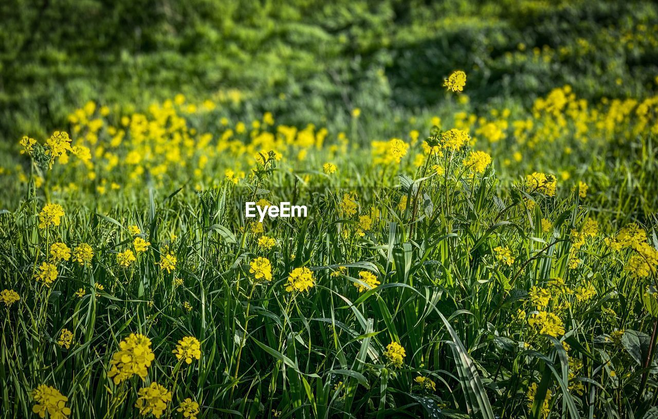 yellow, field, flower, plant, flowering plant, growth, freshness, beauty in nature, land, vulnerability, fragility, nature, agriculture, crop, day, no people, rural scene, landscape, oilseed rape, tranquility, outdoors, springtime, flower head