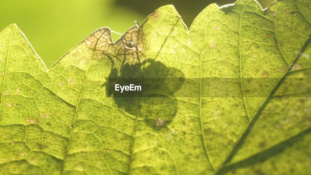 leaf, plant part, plant, green color, nature, leaf vein, close-up, growth, day, no people, beauty in nature, outdoors, natural pattern, sunlight, focus on foreground, backgrounds, selective focus, leaves, full frame, vulnerability