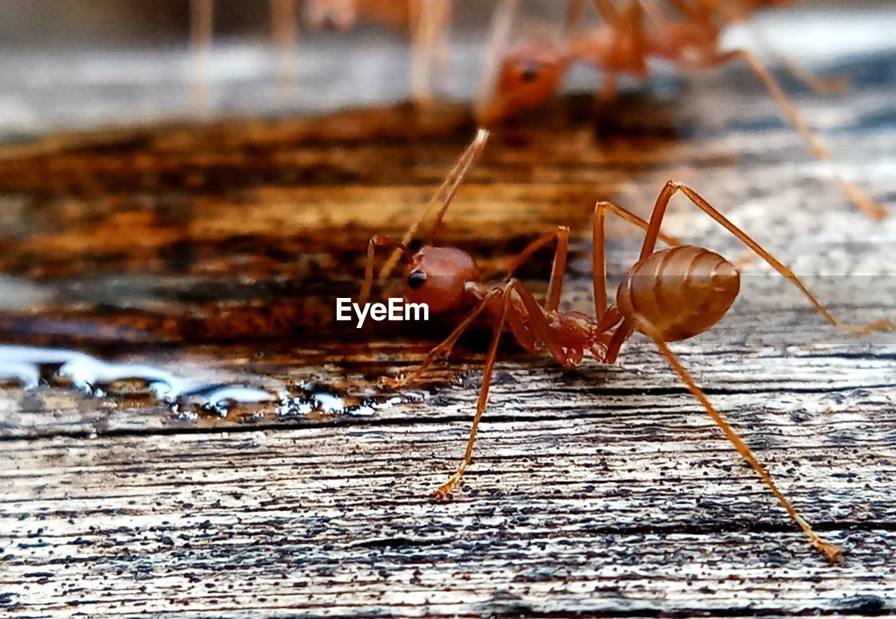 insect, invertebrate, animal themes, animal, animal wildlife, close-up, animals in the wild, one animal, wood - material, day, focus on foreground, no people, animal body part, nature, selective focus, outdoors, animal antenna, red, ant, macro, animal leg