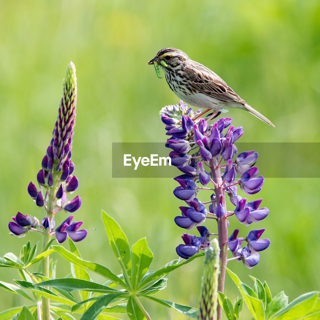 Bird with worm in beak perching on purple flower during sunny day