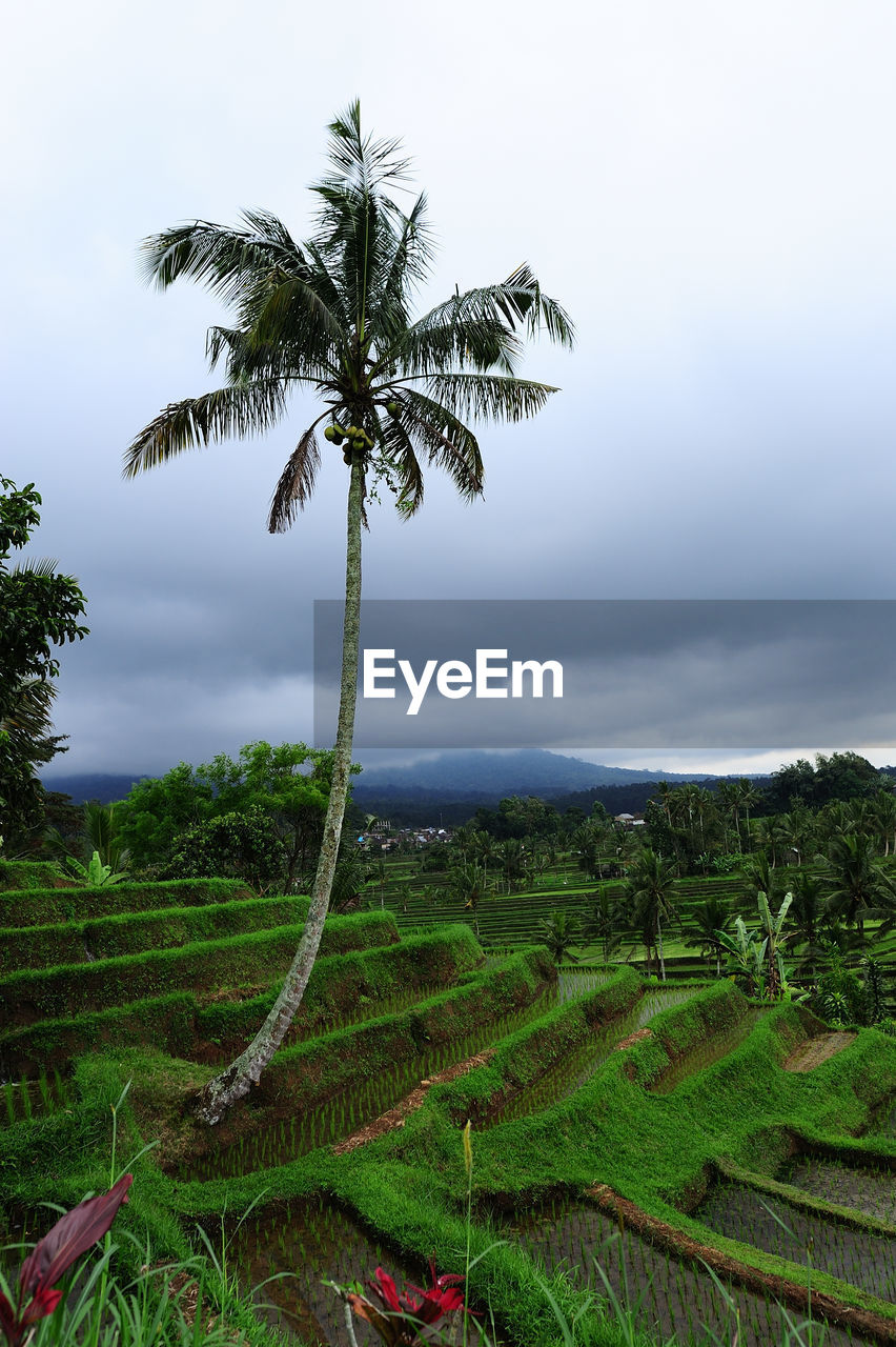 plant, sky, palm tree, tropical climate, tree, environment, beauty in nature, scenics - nature, landscape, growth, tranquil scene, land, green color, tranquility, nature, field, cloud - sky, no people, agriculture, day, outdoors, coconut palm tree