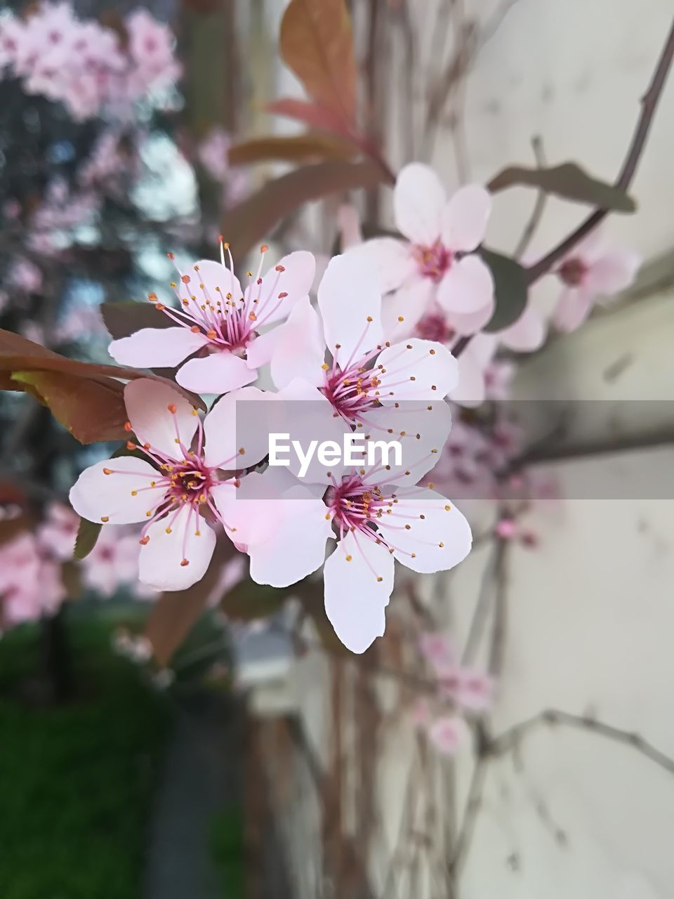 flowering plant, flower, plant, fragility, vulnerability, beauty in nature, freshness, petal, growth, pink color, focus on foreground, close-up, inflorescence, flower head, pollen, tree, blossom, springtime, nature, no people, cherry blossom, outdoors, cherry tree