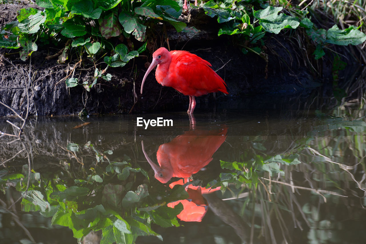 red, water, reflection, leaf, nature, animal themes, one animal, waterfront, beauty in nature, day, lake, outdoors, no people, animals in the wild, plant, bird, flamingo, close-up
