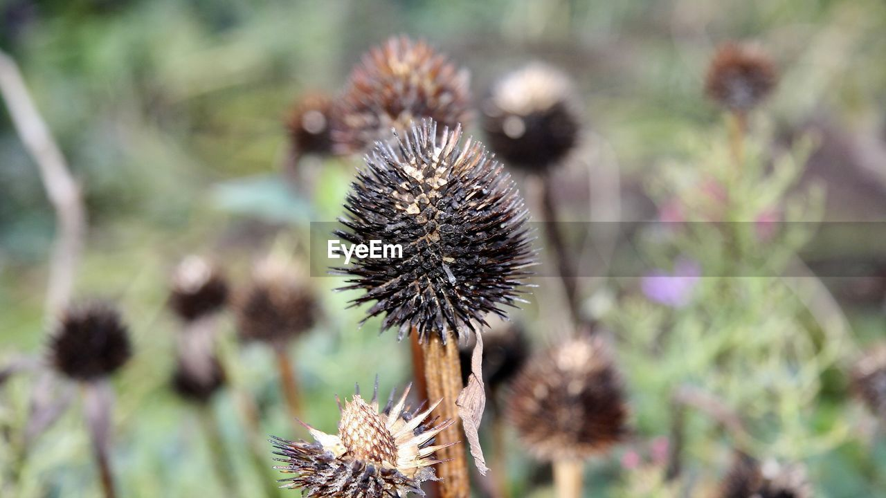flower, flowering plant, plant, close-up, freshness, beauty in nature, nature, growth, no people, selective focus, focus on foreground, day, thistle, spiked, fragility, dry, vulnerability, outdoors, inflorescence, thorn, flower head, spiky, wilted plant, dried