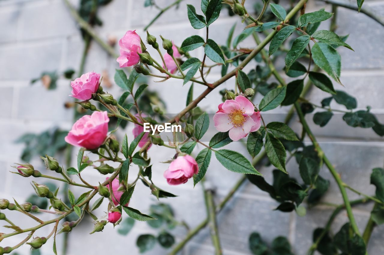 plant, flowering plant, flower, pink color, beauty in nature, growth, freshness, plant part, vulnerability, leaf, petal, fragility, close-up, nature, day, inflorescence, flower head, focus on foreground, no people, outdoors, lantana
