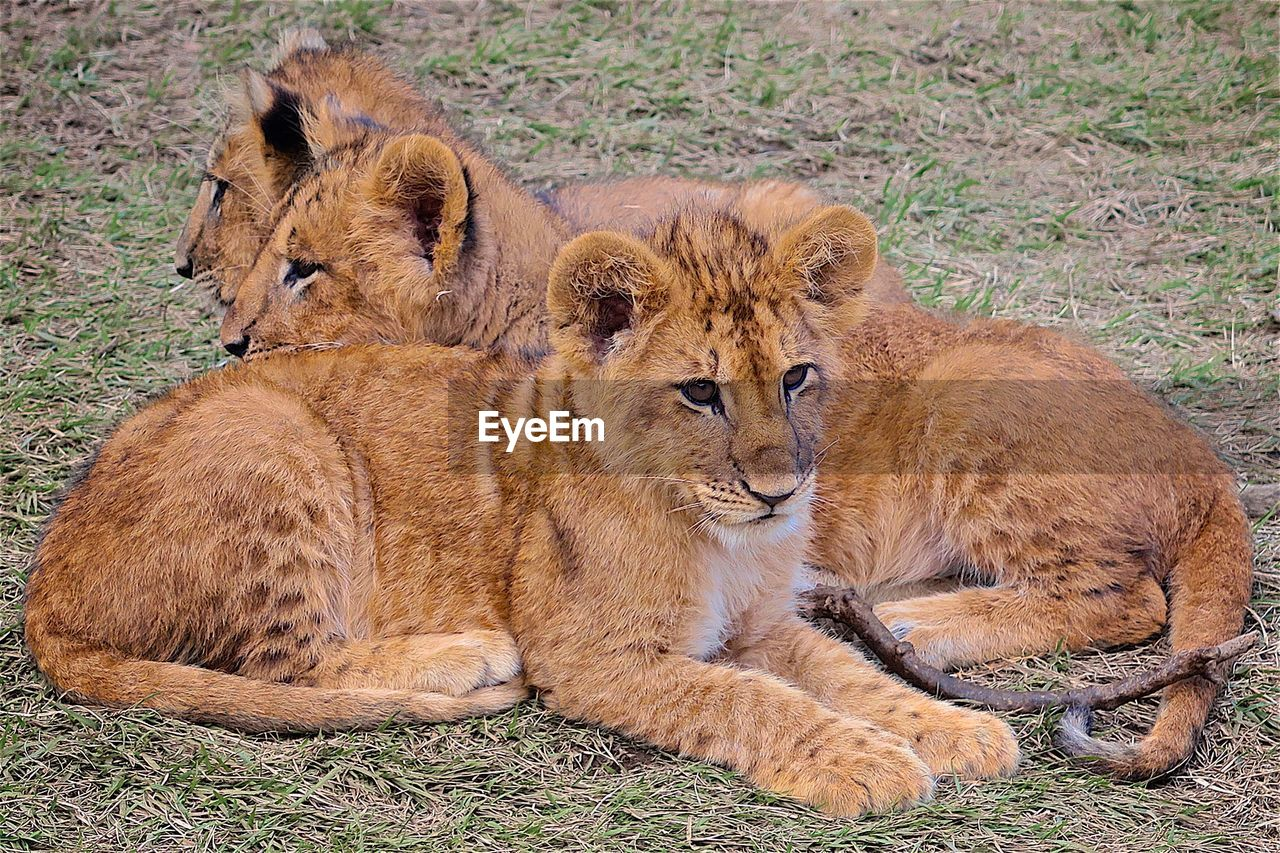 animals in the wild, animal wildlife, lion - feline, animal themes, cub, animals hunting, lioness, lying down, lion cub, feline, mammal, day, no people, relaxation, outdoors, nature, grass, safari animals