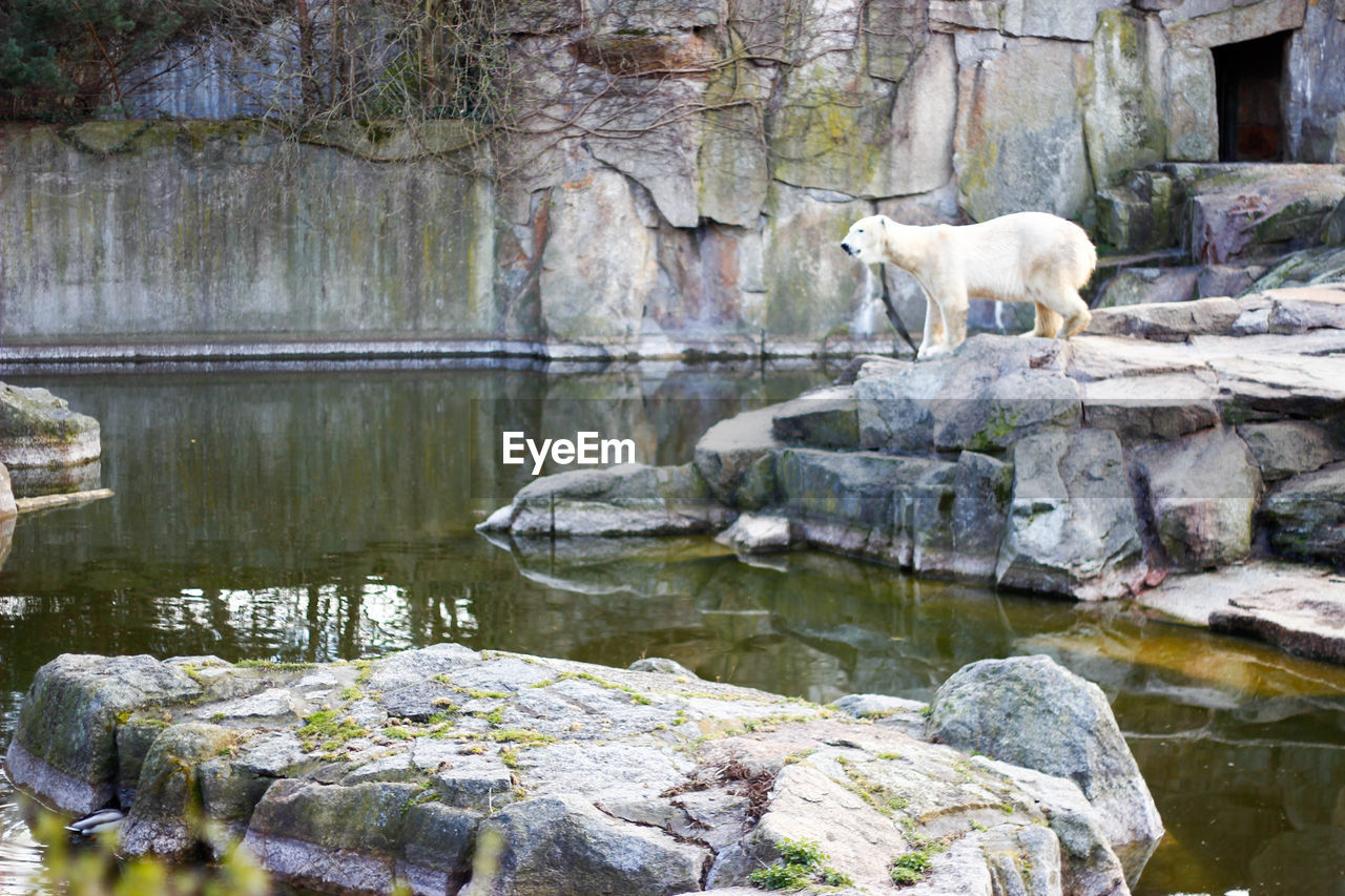 animal themes, animal, mammal, one animal, solid, rock, rock - object, vertebrate, water, animals in the wild, animal wildlife, no people, nature, bear, day, reflection, lake, polar bear, outdoors, zoo