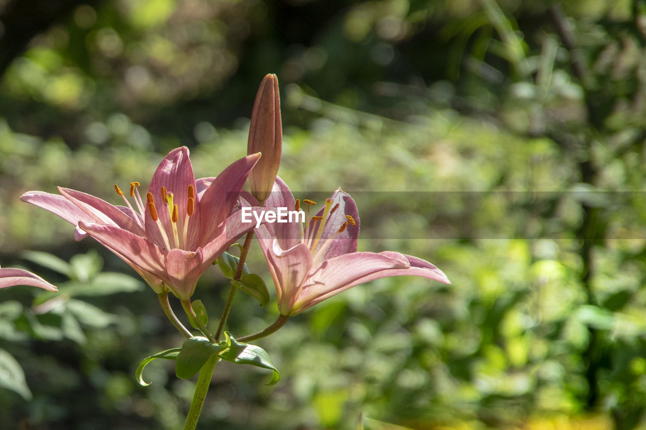 Close-Up Of Pink Lily Plant