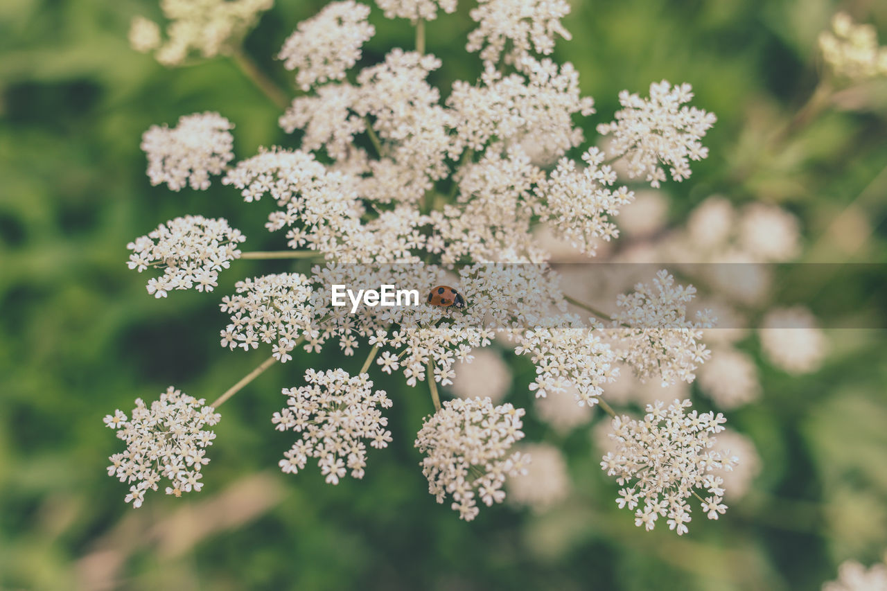 beauty in nature, vulnerability, fragility, flower, flowering plant, plant, freshness, close-up, growth, nature, no people, focus on foreground, day, cold temperature, winter, selective focus, frozen, snow, white color, flower head, outdoors, ice