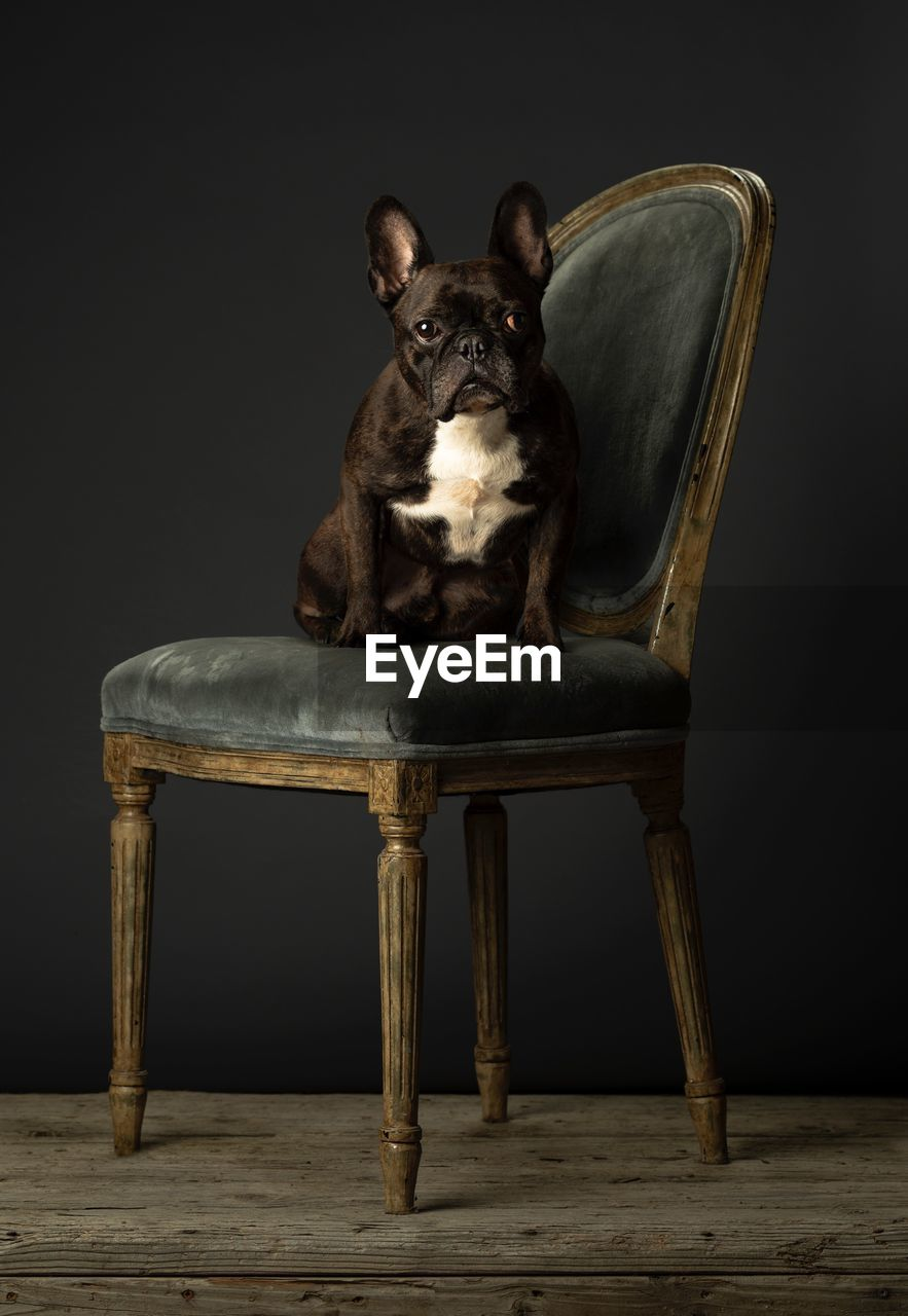 one animal, domestic animals, pets, mammal, domestic, animal, animal themes, seat, chair, studio shot, indoors, dog, canine, sitting, looking at camera, portrait, vertebrate, no people, front view, armchair, black background