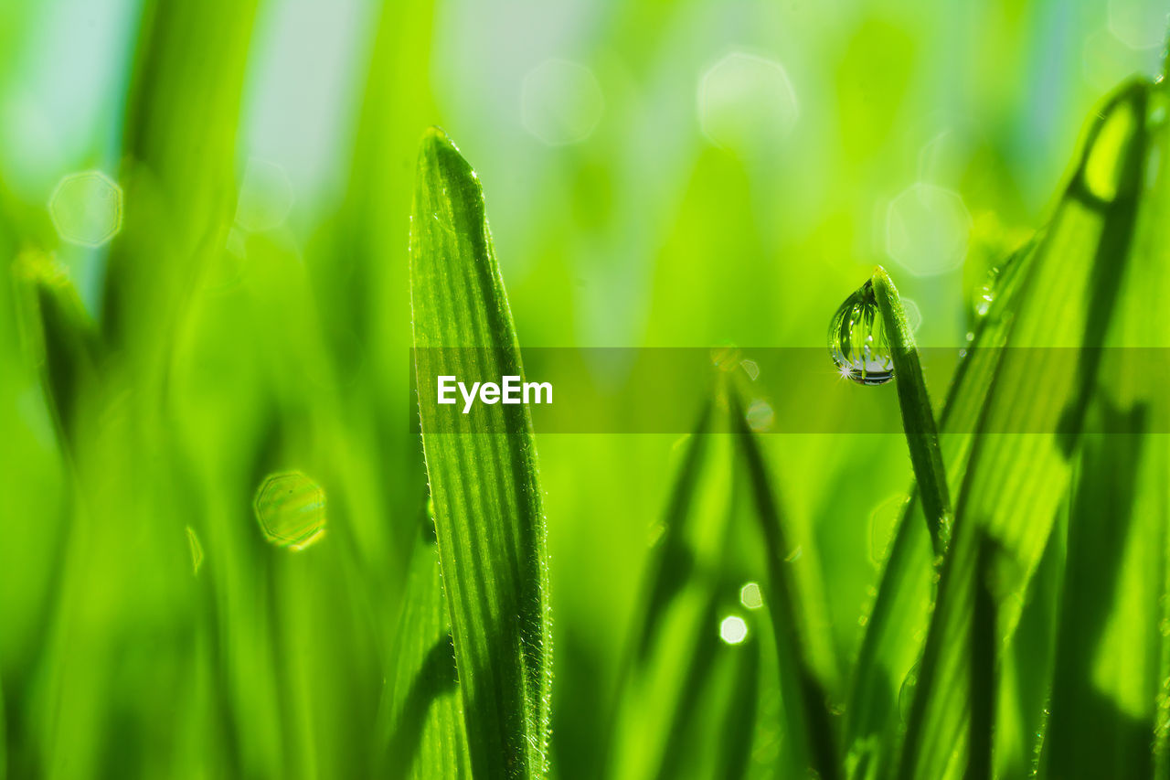 green color, plant, growth, water, drop, close-up, beauty in nature, nature, wet, plant part, leaf, no people, blade of grass, selective focus, freshness, grass, day, focus on foreground, dew, outdoors, purity, raindrop