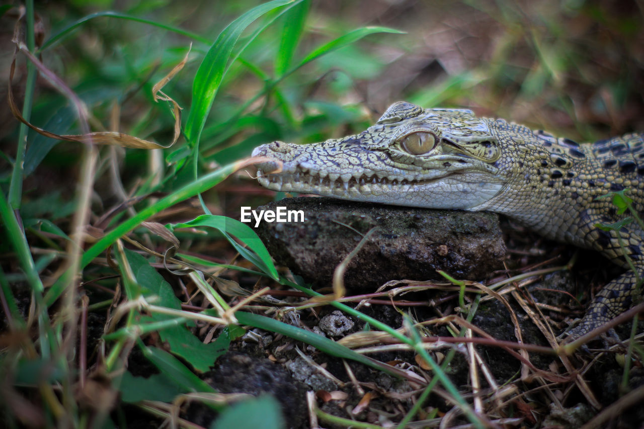 one animal, animal wildlife, animal themes, animals in the wild, animal, reptile, vertebrate, nature, no people, plant, close-up, selective focus, day, land, tree, outdoors, animal body part, crocodile, field, forest, animal head