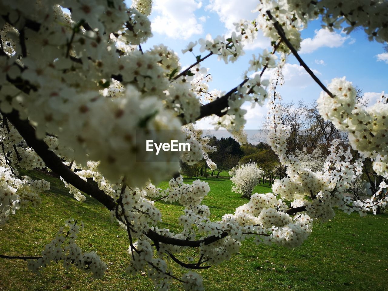 plant, flowering plant, flower, growth, fragility, tree, vulnerability, blossom, beauty in nature, springtime, branch, freshness, day, nature, cherry blossom, white color, no people, apple tree, fruit tree, orchard, cherry tree, outdoors, flower head