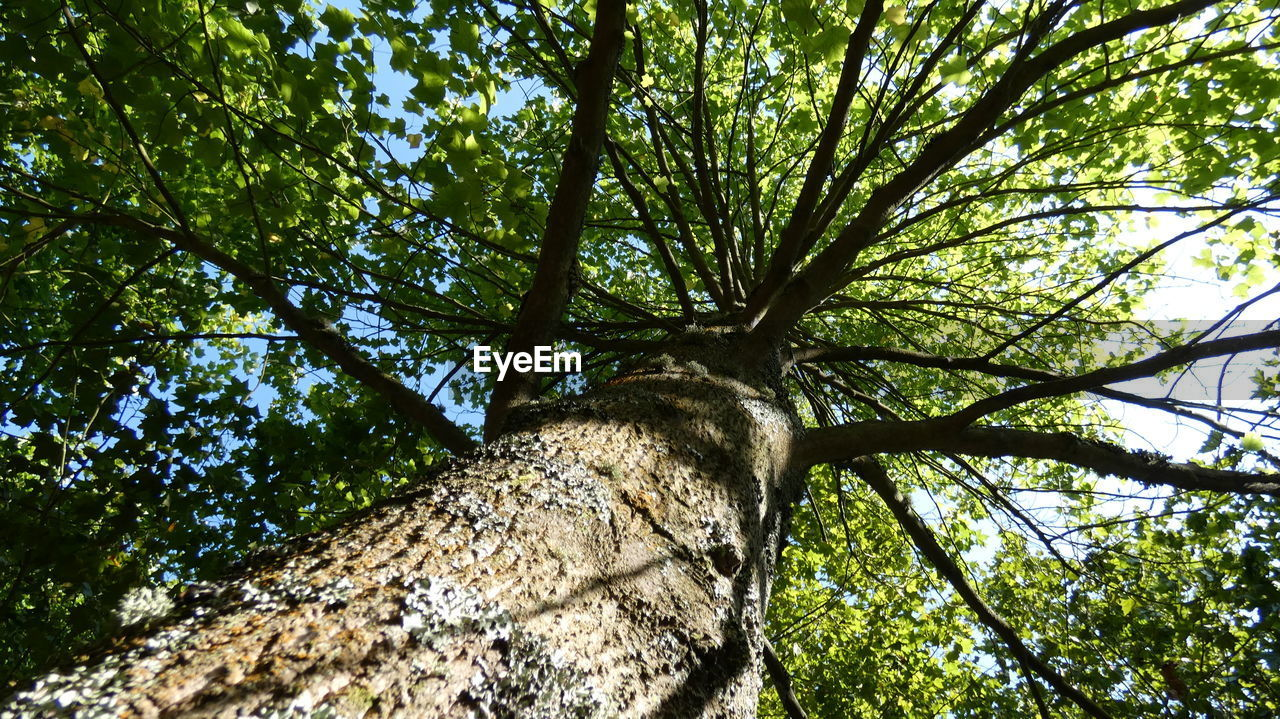 tree, plant, tree trunk, trunk, low angle view, branch, growth, nature, forest, day, no people, tree canopy, land, beauty in nature, green color, tranquility, directly below, outdoors, sky, bark, woodland