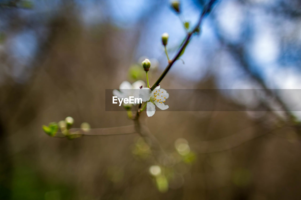 plant, flower, fragility, growth, flowering plant, vulnerability, beauty in nature, freshness, close-up, focus on foreground, tree, selective focus, blossom, day, white color, nature, branch, twig, no people, springtime, flower head, outdoors, pollen, plum blossom, spring, cherry blossom