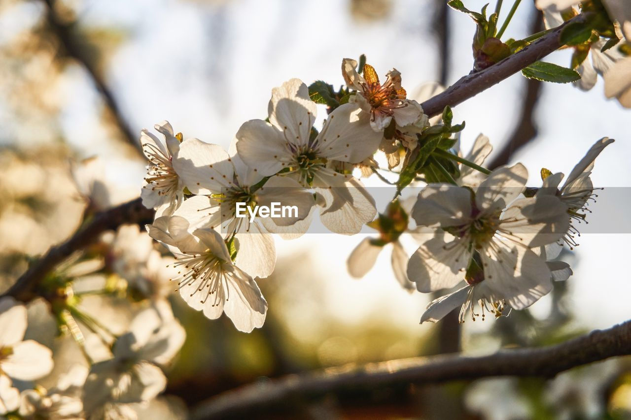 plant, flower, flowering plant, fragility, growth, tree, freshness, vulnerability, beauty in nature, branch, blossom, close-up, springtime, focus on foreground, twig, petal, fruit tree, day, nature, white color, no people, pollen, cherry blossom, flower head, outdoors, cherry tree, spring