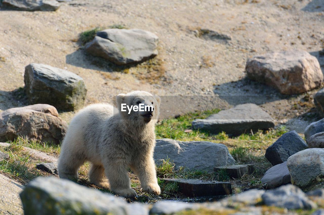 Young curious bear looking away
