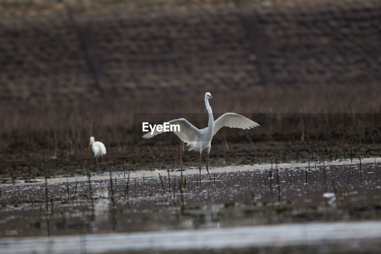 bird, animals in the wild, animal themes, animal wildlife, animal, vertebrate, group of animals, flying, water, selective focus, spread wings, no people, nature, white color, beauty in nature, lake, day, egret, waterfront, seagull