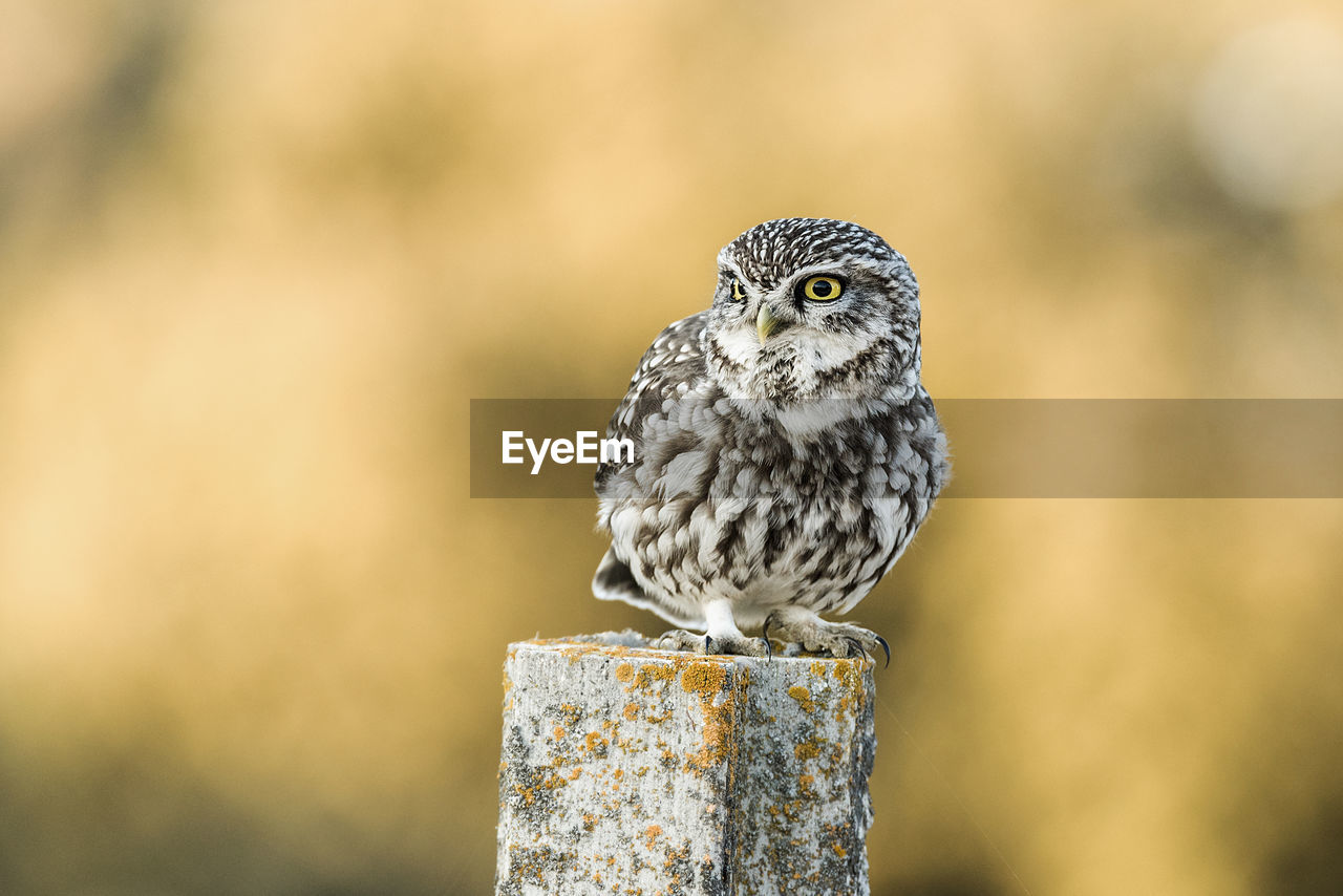 animal themes, animal, animal wildlife, bird, animals in the wild, one animal, vertebrate, perching, focus on foreground, close-up, wood - material, day, no people, nature, outdoors, post, looking, full length, zoology, bird of prey, wooden post