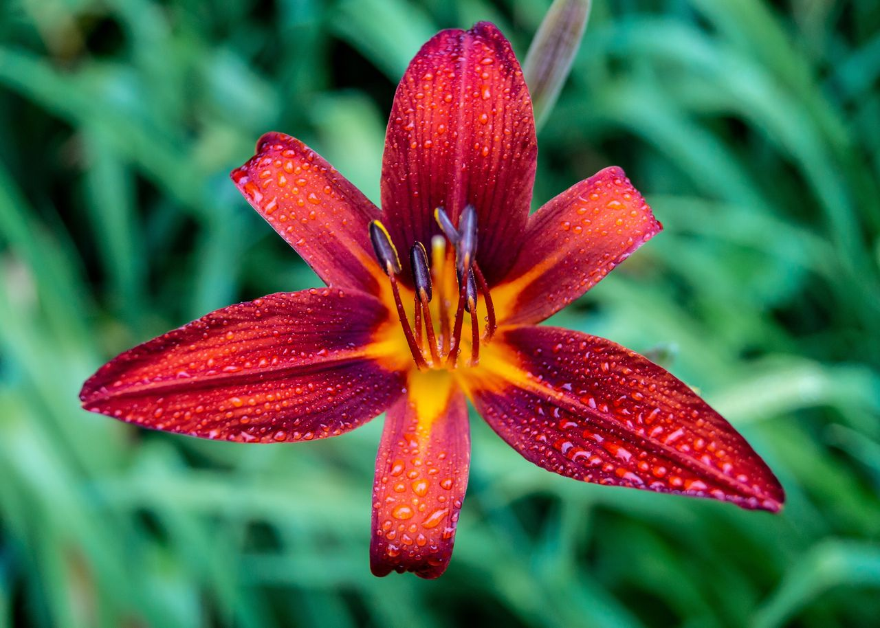 fragility, beauty in nature, petal, plant, inflorescence, vulnerability, flower head, growth, close-up, flower, flowering plant, red, freshness, focus on foreground, lily, pollen, nature, no people, wet, outdoors