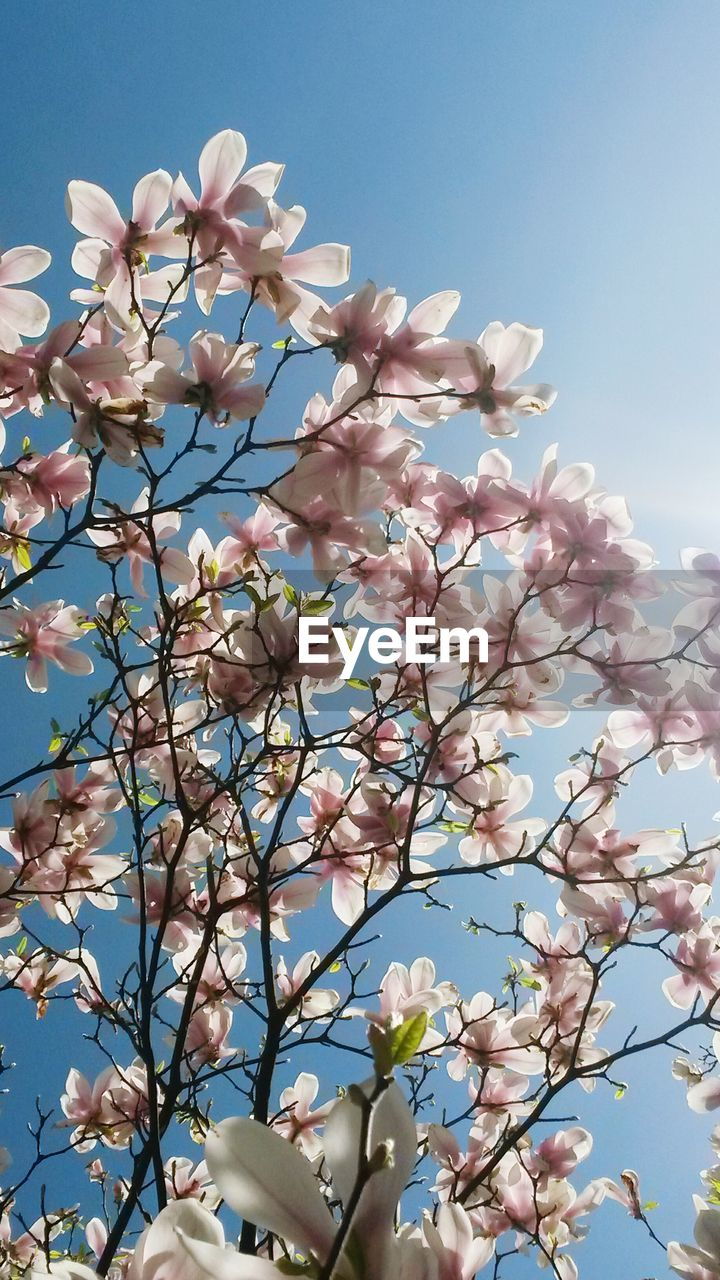 Low angle view of fresh pink magnolia flowers blooming on tree against sky
