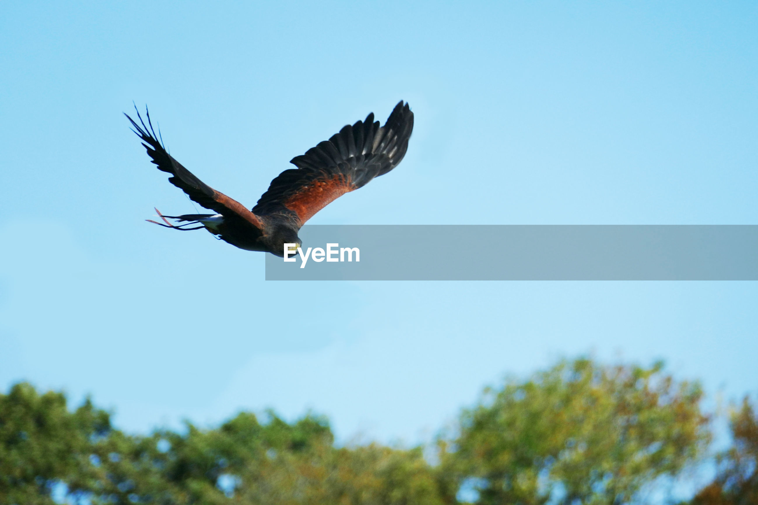 Low angle view of eagle kestrel flying against clear blue sky