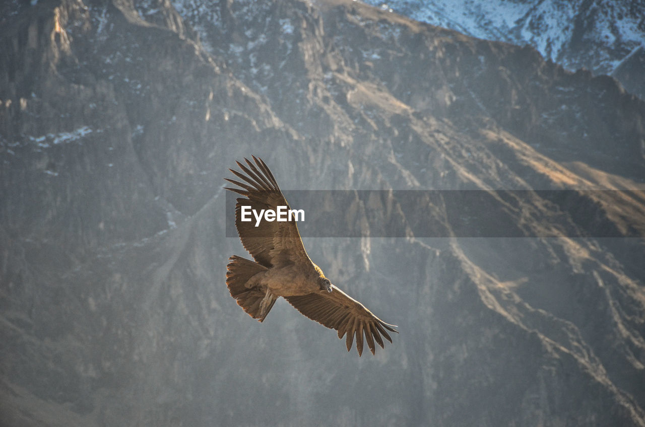 flying, bird, animals in the wild, vertebrate, animal themes, one animal, spread wings, animal, animal wildlife, bird of prey, mid-air, mountain, nature, beauty in nature, eagle, no people, eagle - bird, day, outdoors, motion