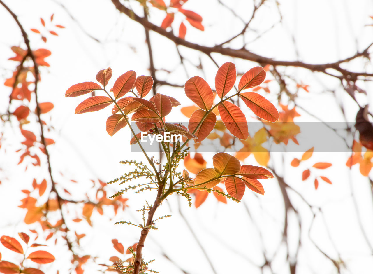 plant, tree, growth, flower, flowering plant, beauty in nature, vulnerability, fragility, close-up, branch, freshness, nature, focus on foreground, orange color, day, no people, selective focus, petal, outdoors, flower head, change, springtime, cherry blossom