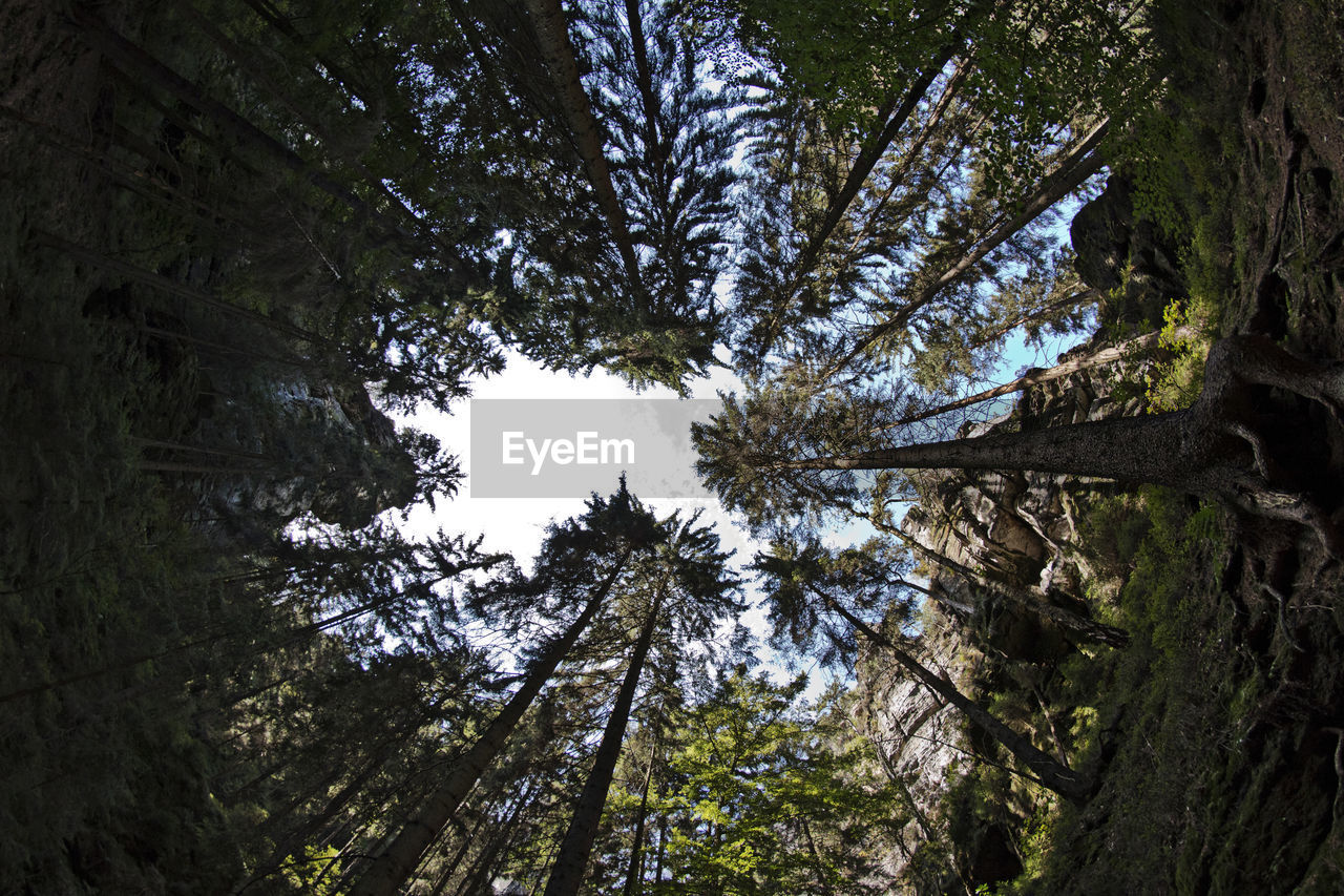 tree, low angle view, growth, nature, forest, tree trunk, beauty in nature, day, branch, no people, outdoors, scenics, tranquility, tree canopy, green color, pine tree, sky