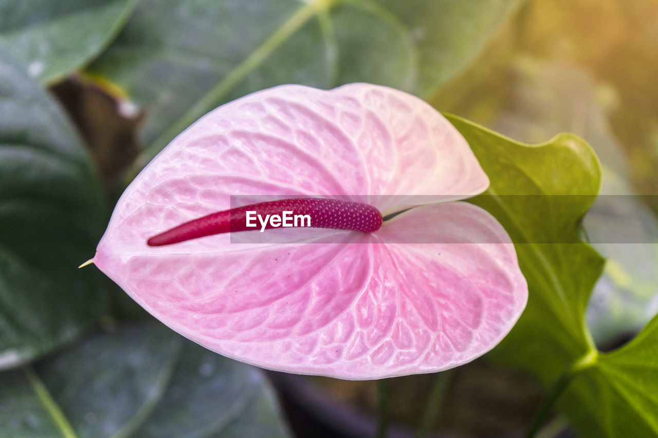 beauty in nature, plant, petal, vulnerability, flowering plant, fragility, flower, close-up, freshness, growth, inflorescence, flower head, pink color, plant part, leaf, nature, no people, focus on foreground, day, outdoors