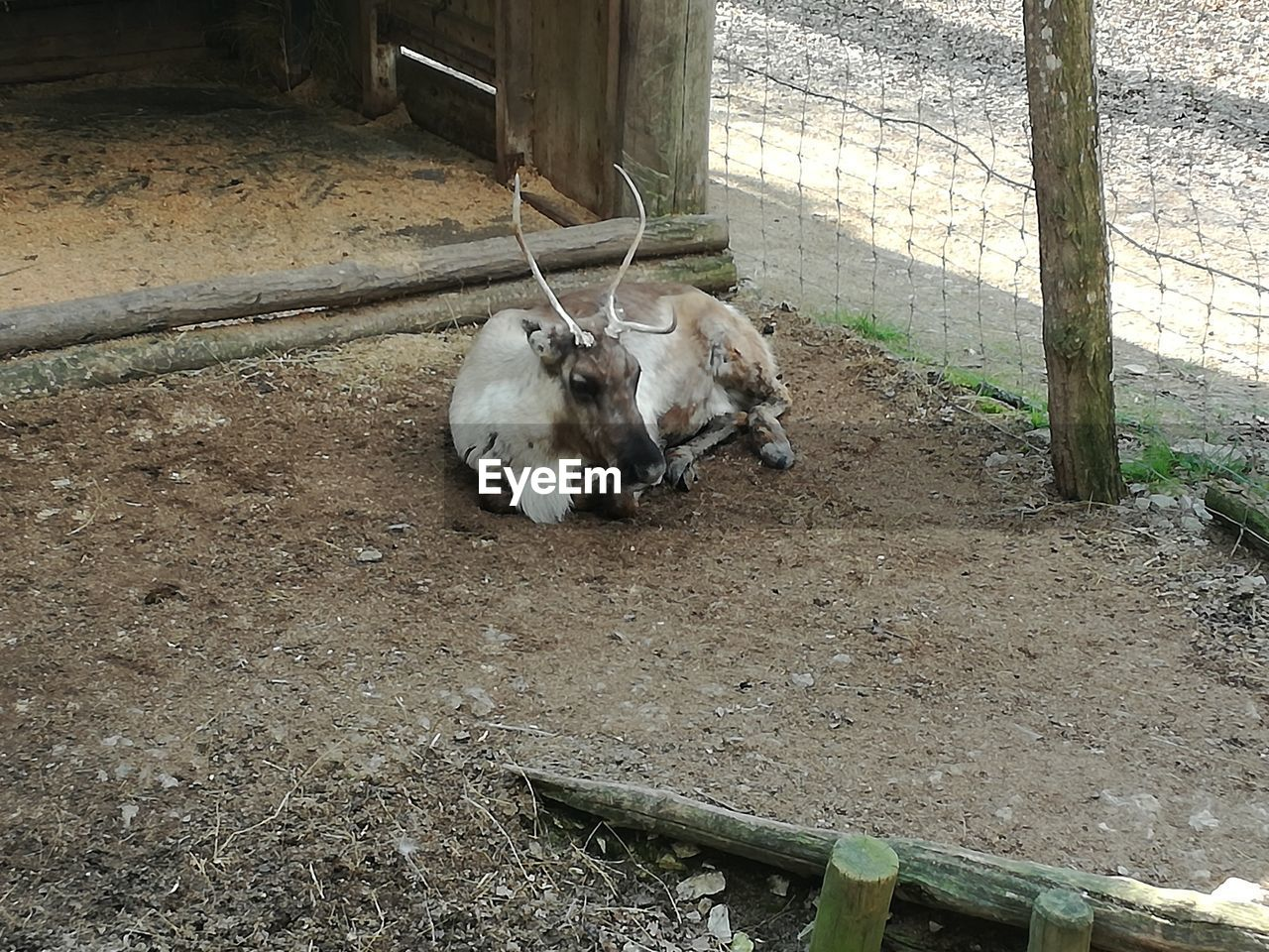 animal themes, domestic animals, livestock, mammal, high angle view, no people, day, one animal, outdoors, young animal, nature