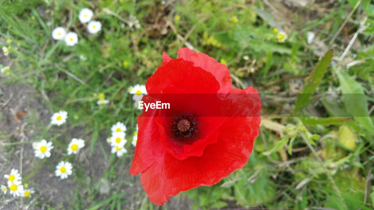 red, flower, petal, growth, nature, beauty in nature, fragility, plant, flower head, freshness, poppy, no people, vibrant color, field, day, outdoors, close-up, blooming