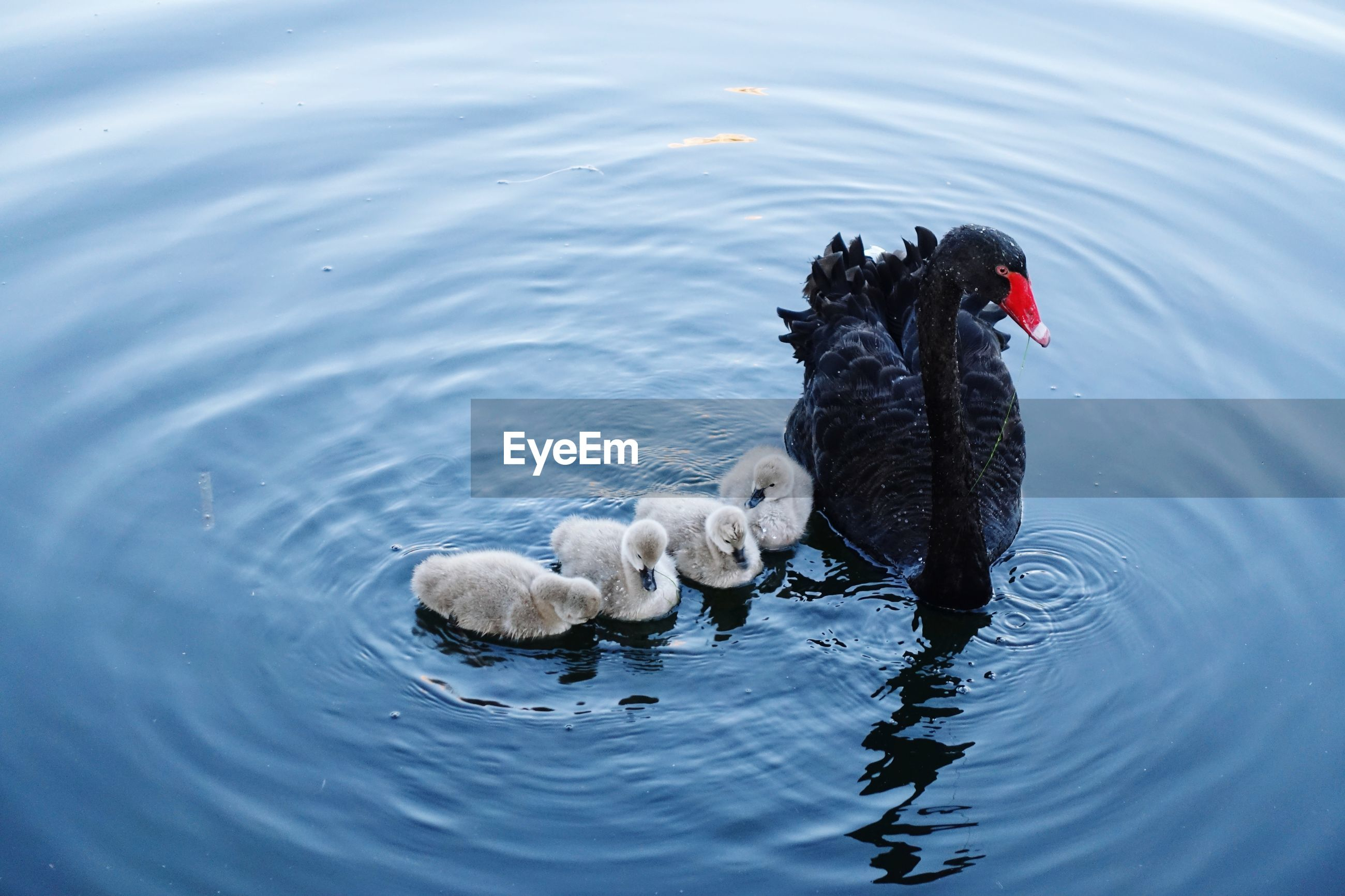 High angle view of swan and cygnets swimming in lake