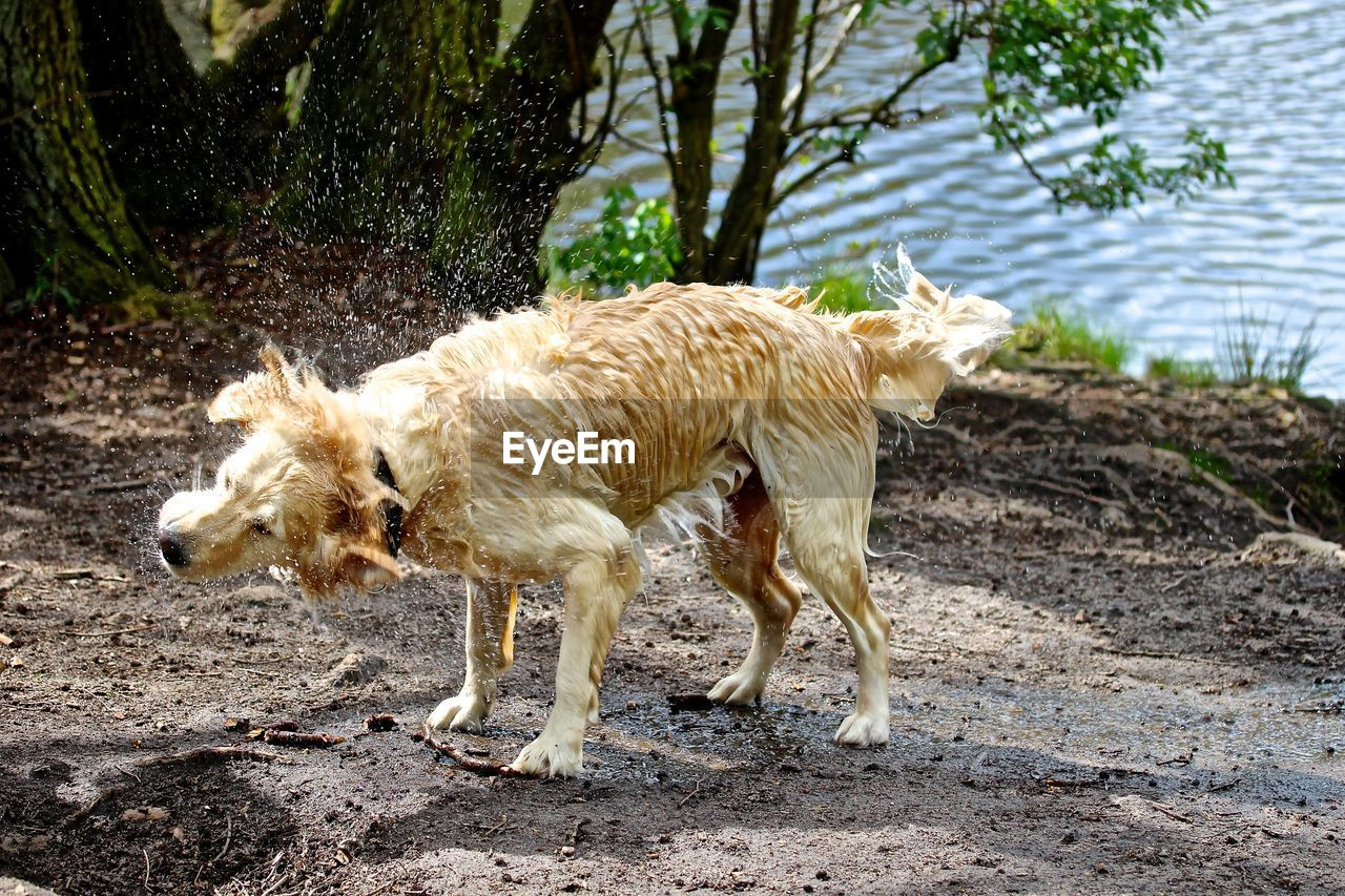 Wet dog shaking off water while standing at riverbank