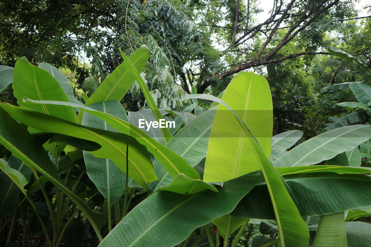 plant, leaf, plant part, green color, tree, growth, nature, day, beauty in nature, no people, outdoors, tranquility, close-up, low angle view, banana, banana tree, focus on foreground, forest, leaves, sky