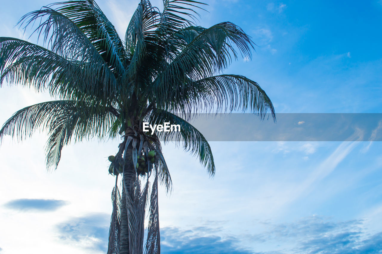 tropical climate, palm tree, sky, tree, cloud - sky, low angle view, growth, plant, beauty in nature, nature, palm leaf, no people, trunk, tree trunk, coconut palm tree, leaf, tranquility, scenics - nature, tropical tree, day, outdoors