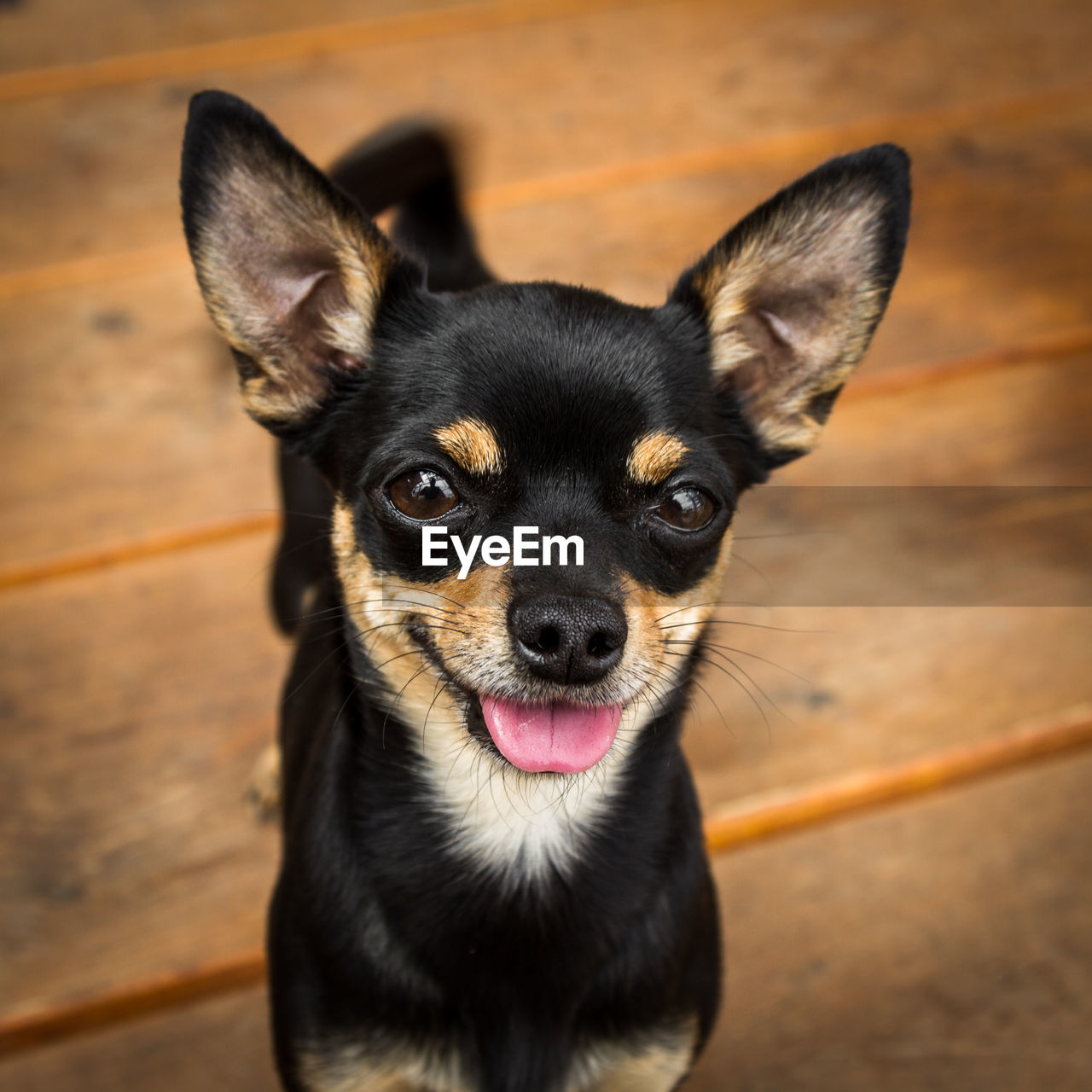 one animal, canine, dog, mammal, domestic, pets, domestic animals, animal themes, animal, vertebrate, portrait, looking at camera, no people, focus on foreground, close-up, animal body part, indoors, sticking out tongue, high angle view, black color, animal head, animal tongue, animal eye