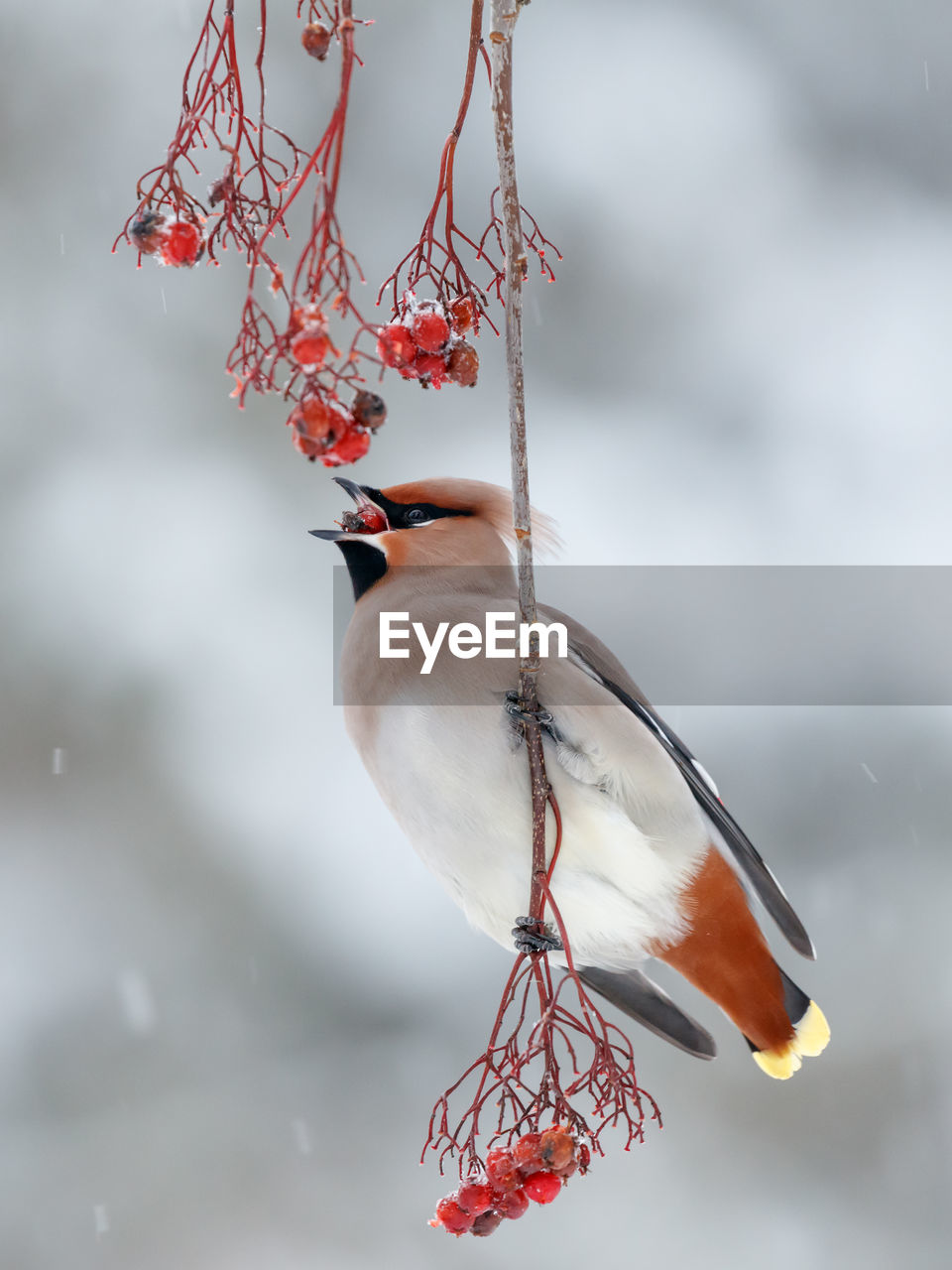 bird, red, one animal, focus on foreground, nature, animal themes, no people, day, animals in the wild, animal wildlife, beauty in nature, outdoors, perching, tree, branch, close-up, sky