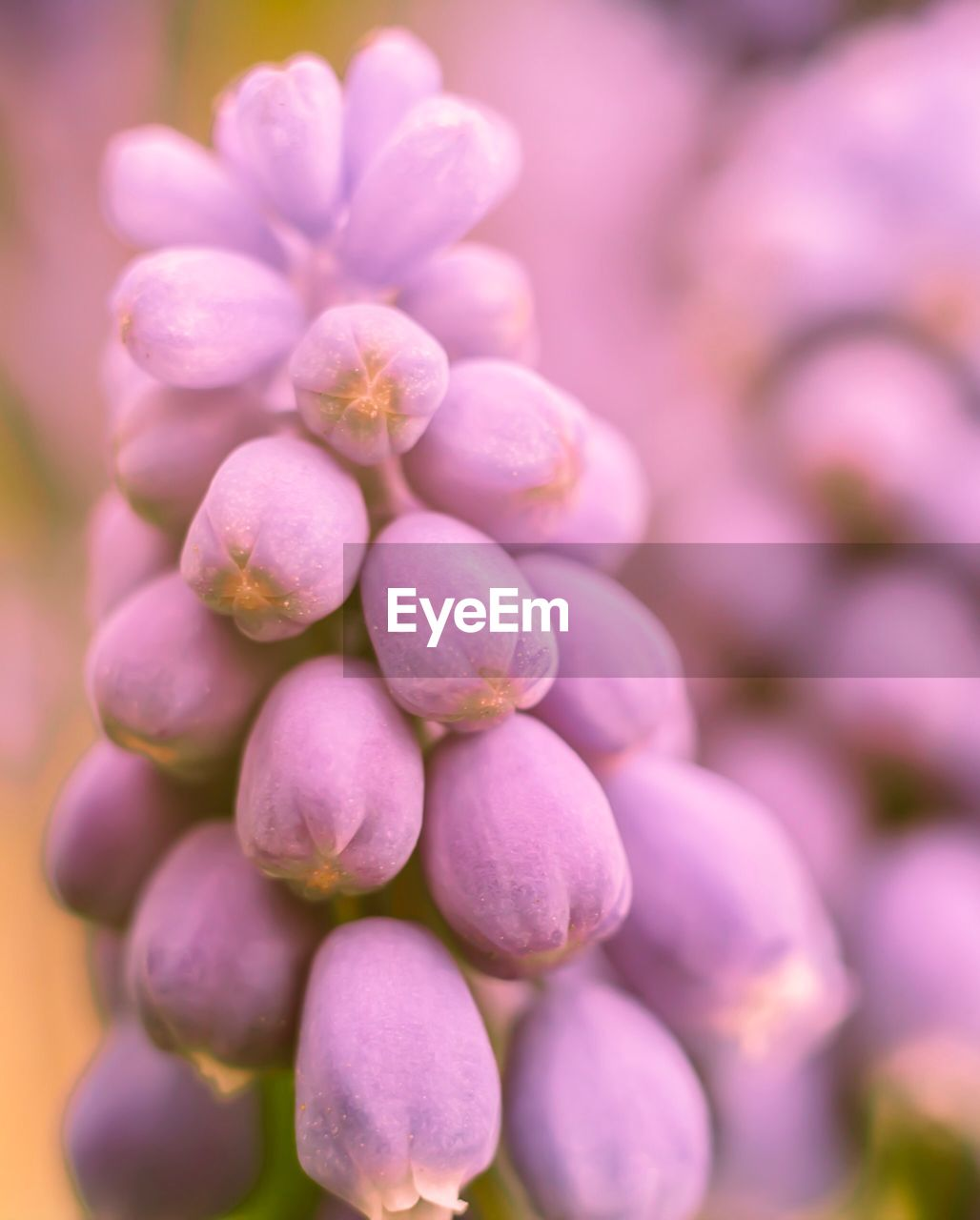 freshness, close-up, flowering plant, flower, beauty in nature, plant, fragility, vulnerability, growth, selective focus, day, pink color, no people, nature, purple, petal, focus on foreground, outdoors, bud, inflorescence, flower head