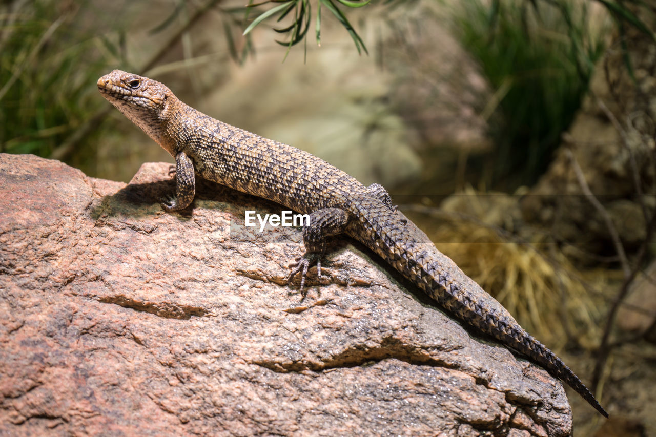 reptile, animal themes, lizard, one animal, animal wildlife, animal, animals in the wild, rock, vertebrate, rock - object, solid, nature, no people, day, focus on foreground, outdoors, close-up, side view, textured, selective focus, animal scale