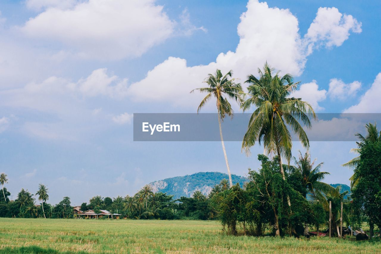 tree, sky, cloud - sky, beauty in nature, nature, field, landscape, scenics, growth, palm tree, tranquility, agriculture, day, tranquil scene, no people, outdoors, rural scene, grass