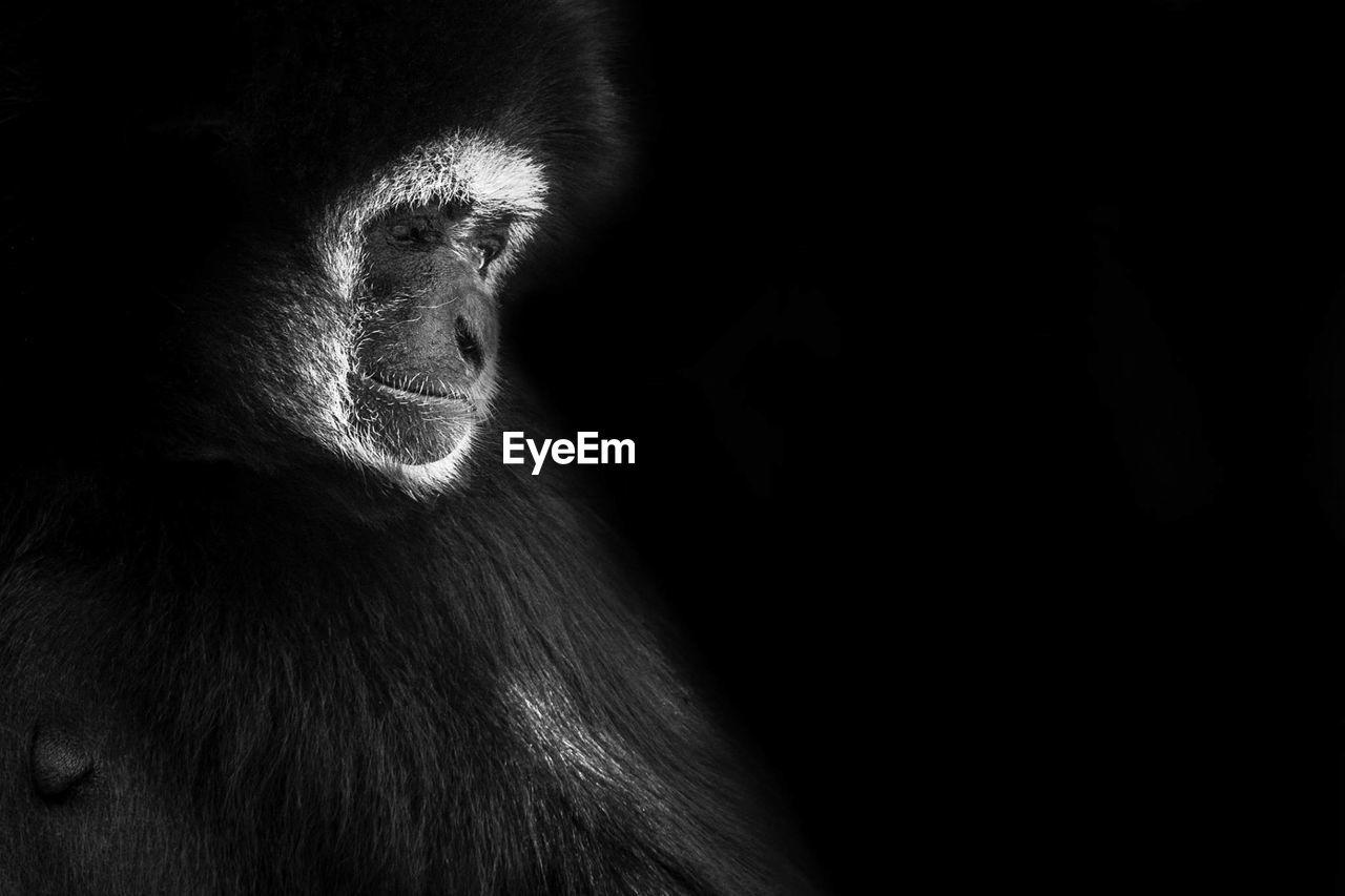 Close-Up Of Gibbon