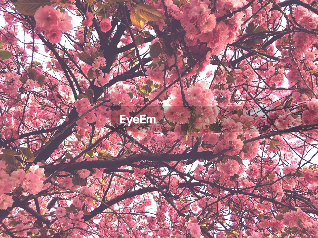 tree, pink color, branch, plant, flowering plant, low angle view, flower, growth, blossom, springtime, beauty in nature, fragility, nature, cherry blossom, freshness, no people, vulnerability, cherry tree, day, backgrounds, outdoors, change, spring, plum blossom, bunch of flowers