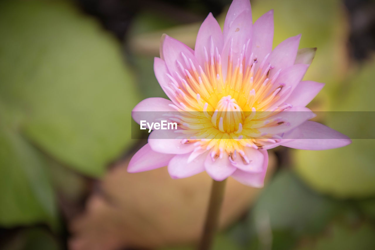 flowering plant, flower, vulnerability, freshness, petal, fragility, plant, beauty in nature, flower head, growth, inflorescence, close-up, pink color, selective focus, nature, leaf, focus on foreground, no people, water lily, pollen, purple