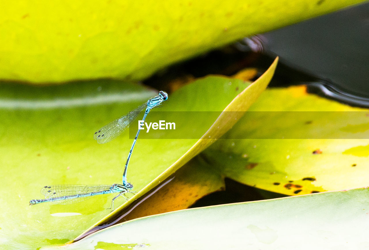 close-up, green color, insect, invertebrate, water, no people, leaf, animal wildlife, plant part, drop, animals in the wild, nature, animal themes, one animal, animal, yellow, focus on foreground, plant, freshness, purity