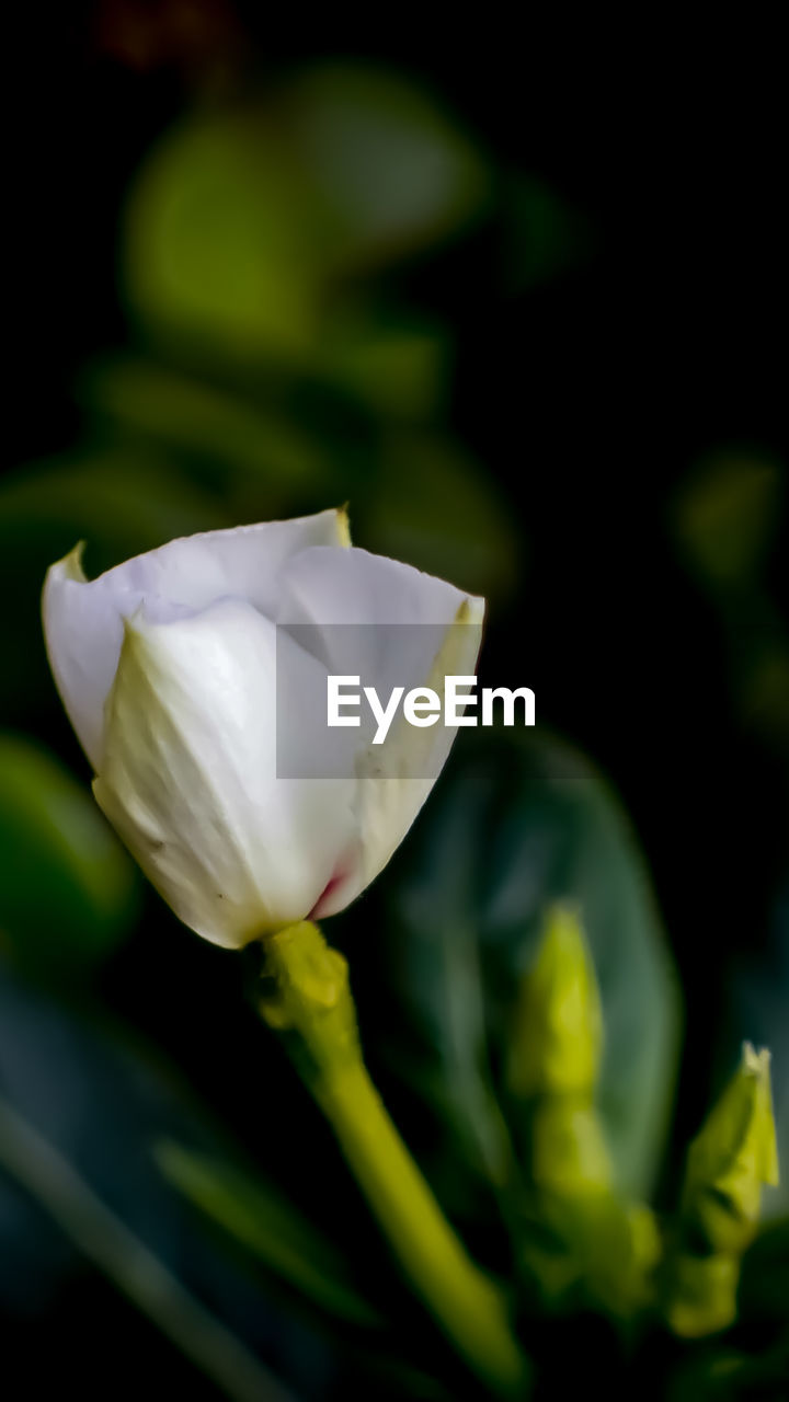 flowering plant, flower, plant, beauty in nature, freshness, fragility, petal, vulnerability, close-up, growth, inflorescence, flower head, white color, no people, nature, selective focus, focus on foreground, day, outdoors, green color