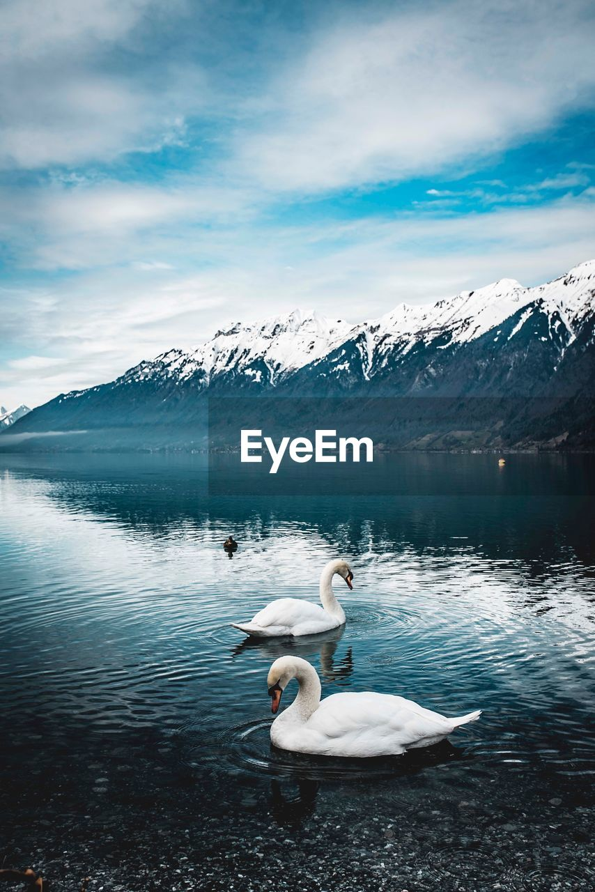 Swan floating on lake against sky